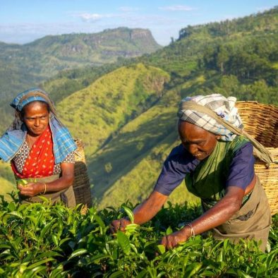 Private Tea Plucking and Tea factory tour from Nuwara Eliya OR Kandy