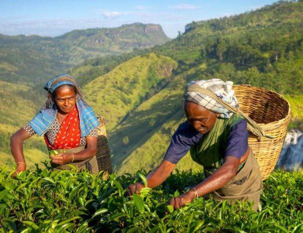Private Tea Plucking and Tea factory tour from Nuwara Eliya OR Kandy