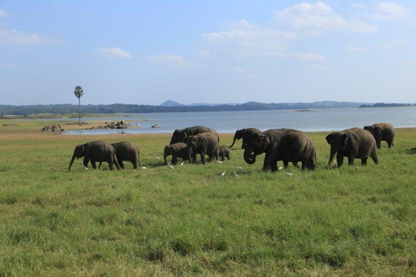 Minneriya National Park Safari – Special Elephant Safari (4)